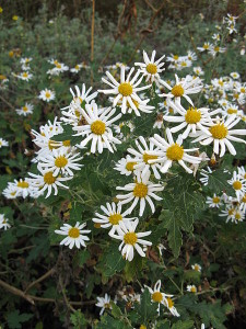 450px-Chrysanthemum_japonense1