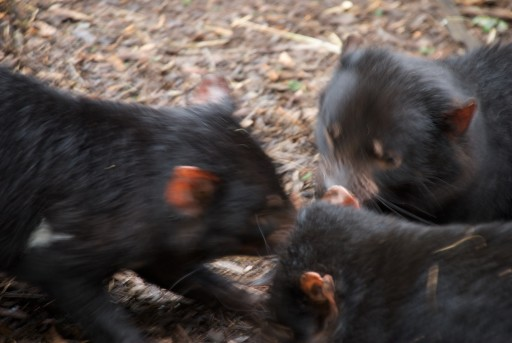 Tasmanian_Devils_feeding